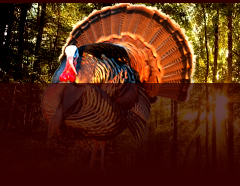 Turkey Call Gobble Car Horns